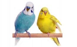 Линька у волнистых попугаев